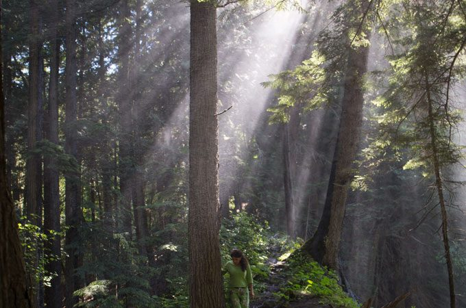 Sunlight streams through the tall firs. The lush ground is covered ferns and moss.